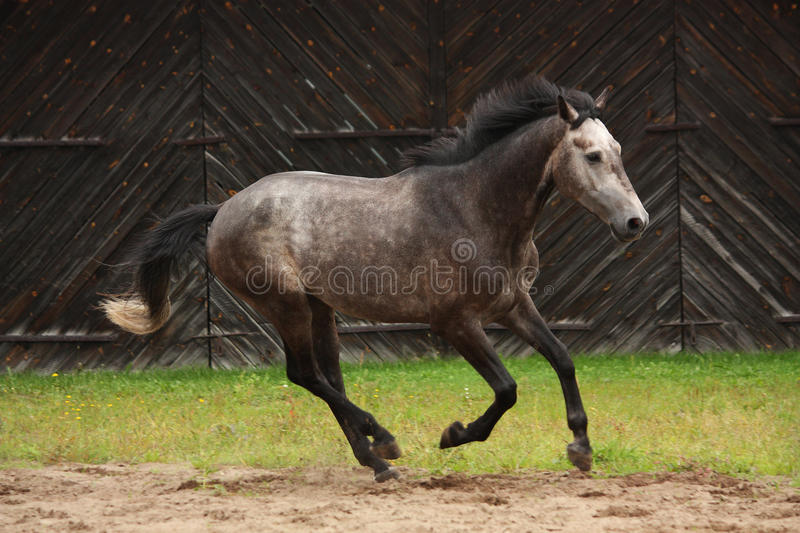 Gray horse galloping at the field. Near the wooden farm building royalty free stock images