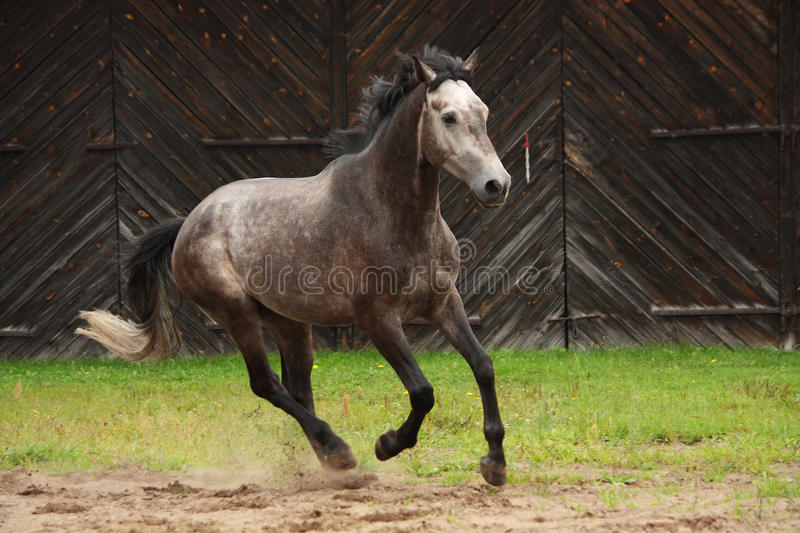 Gray horse galloping at the field. Near the wooden farm building stock photo