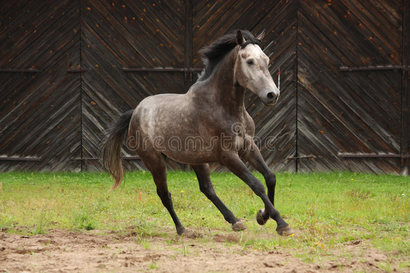 Gray horse galloping at the field. Near the wooden farm building stock photos