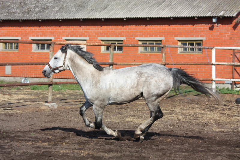 Download Gray Horse Galloping In The Paddock Stock Image - Image: 27008173