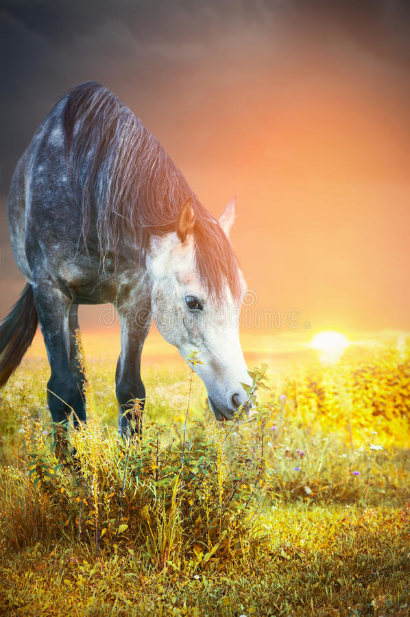 Gray horse grazing at sunset and eating nettles. Outdoor stock image