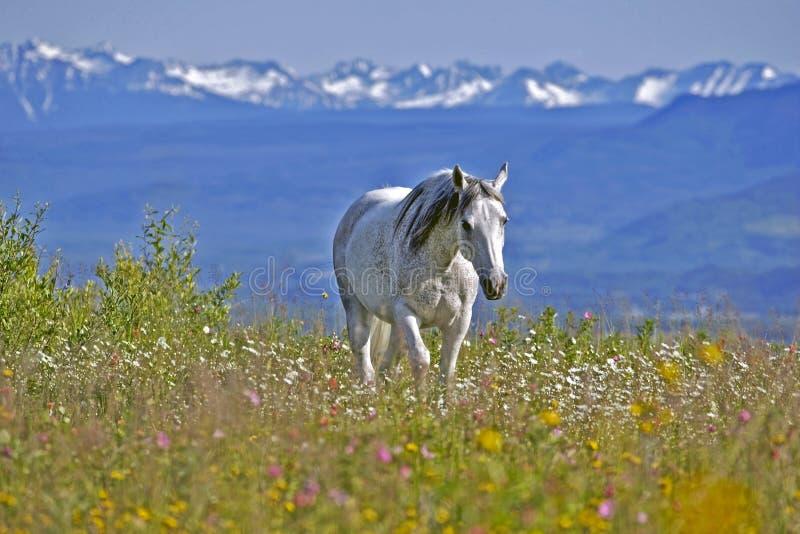 Gray Horse i bergen arkivfoton