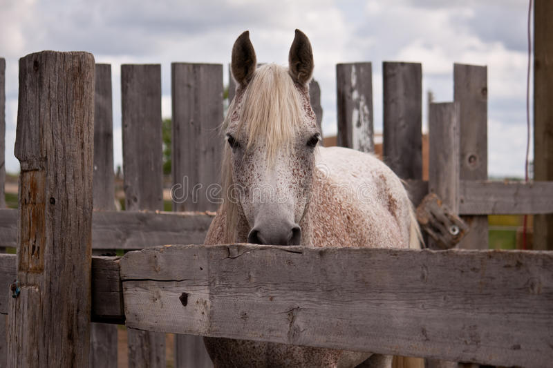 Download Gray Horse Looking Stock Photos - Image: 19895683