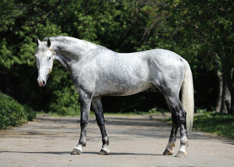Gray horse orlov trotter breed royalty free stock photos