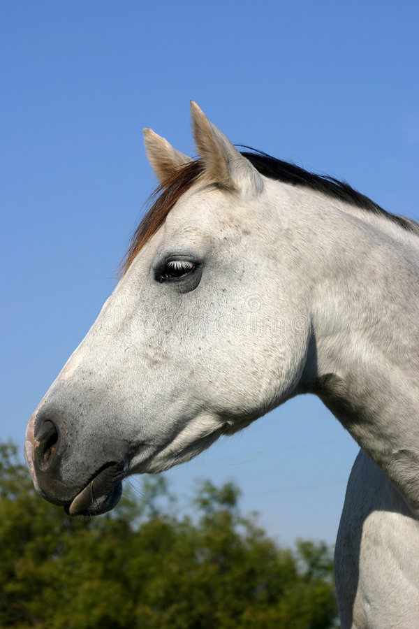 Free Gray Horse Portrait Royalty Free Stock Photos - 309868