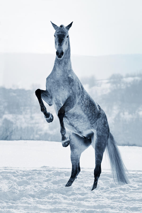 Download Gray horse rearing on snow stock photo. Image of meadow - 28127848