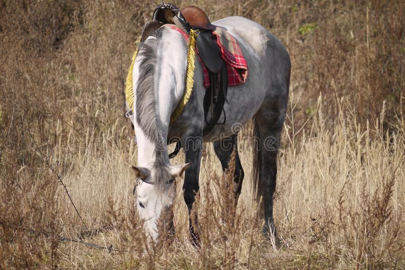 Gray horse with saddle grazes in a dry grass royalty free stock photography