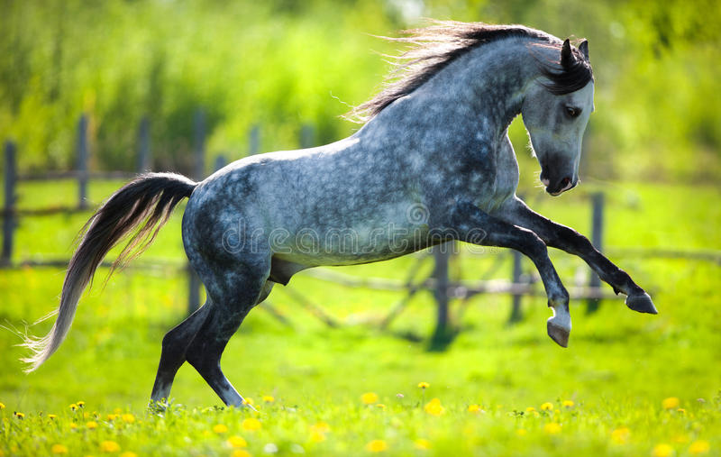 Gray horse running in field in spring. Gray horse run gallops in field in spring stock images