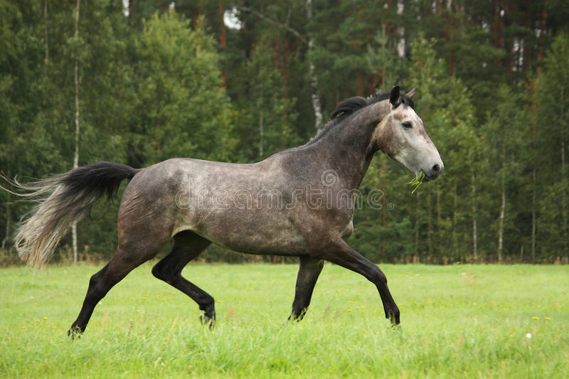 Gray horse running free at the field. In summer royalty free stock photography