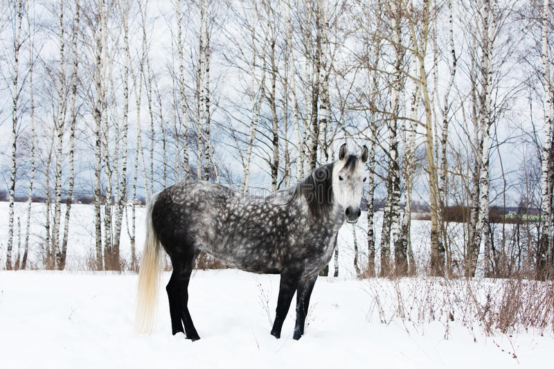 Gray horse on white snow. Russian birches on background royalty free stock image