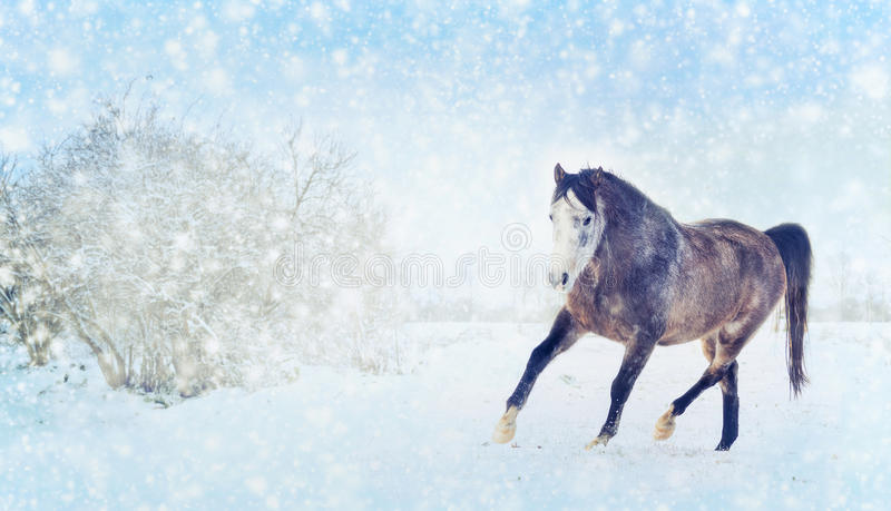 Gray horse with winter fur running trot on snow nature background. Banner stock image