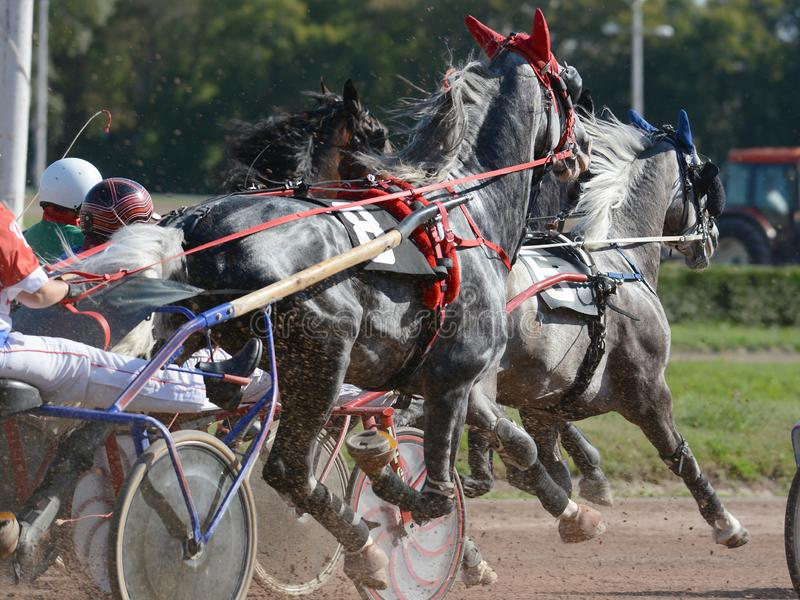 Horses trotter breed in harness horse racing on racecourse. The gray horses trotter breed in harness horse racing on racecourse stock images