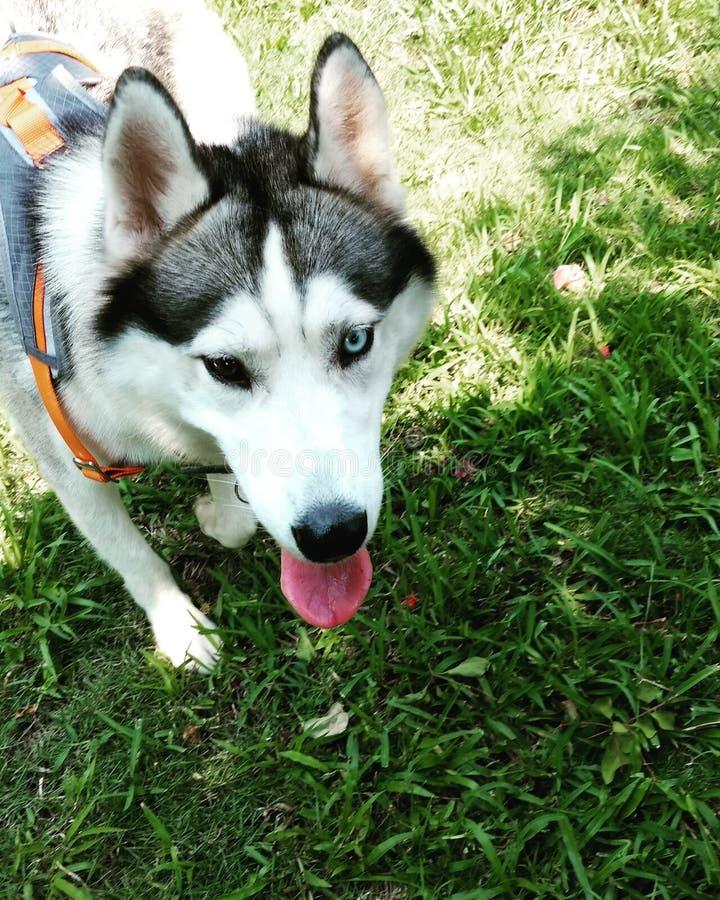 Gray Husky mit Heterochromia stockbilder