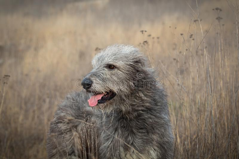 Gray Irish Wolfhound på går i höstfältet arkivfoton
