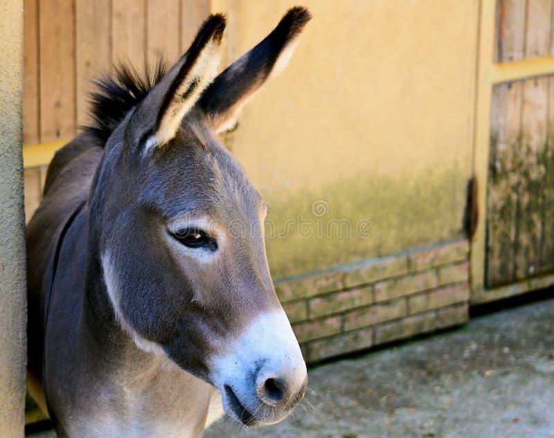 Gray Italian Sardinian Donkey stock image