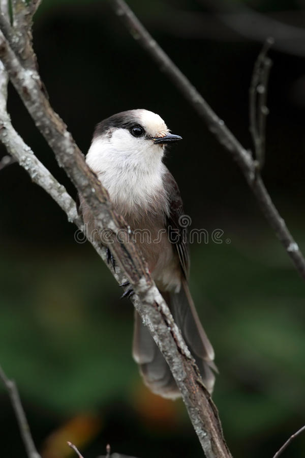Download Gray Jay stock photo. Image of curious, animals, grey - 17192316