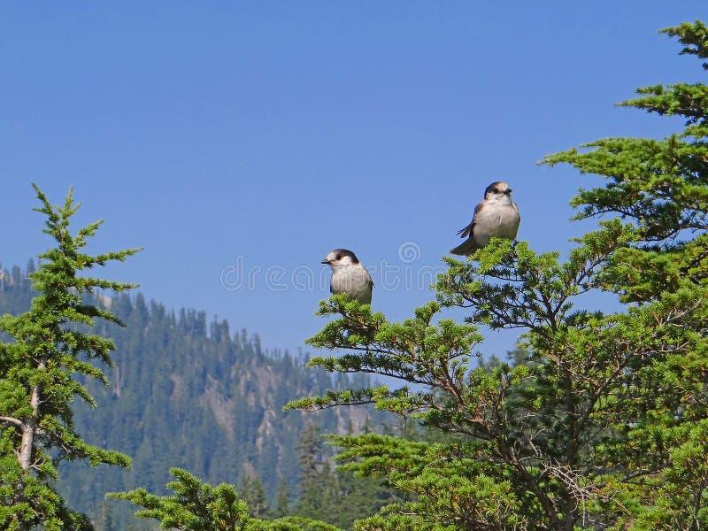 Gray Jay (canadensis del Perisoreus) imagenes de archivo