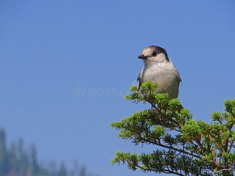 Gray Jay (canadensis del Perisoreus) imagen de archivo