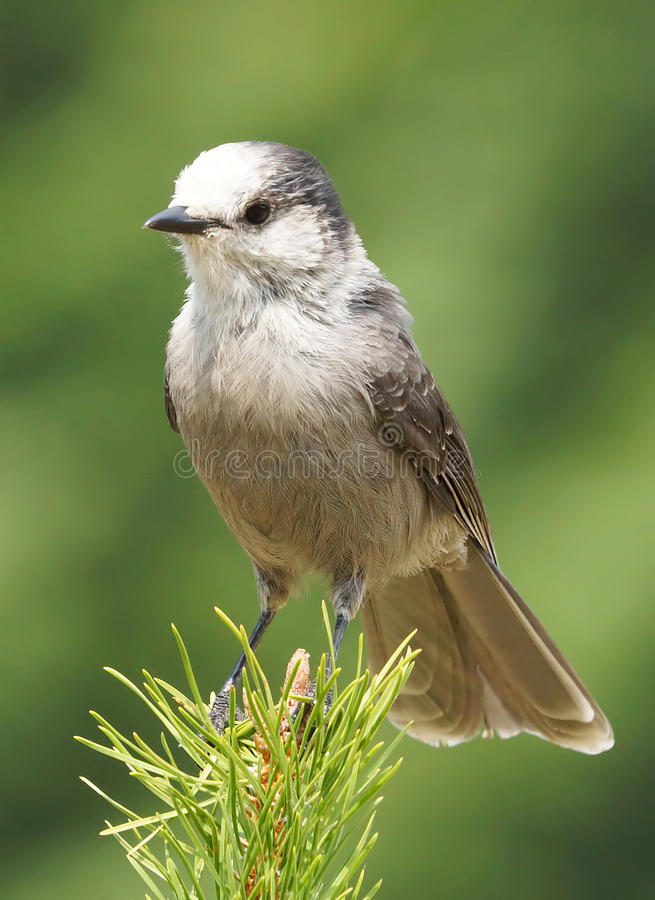 Gray Jay - canadensis del Perisoreus imagenes de archivo