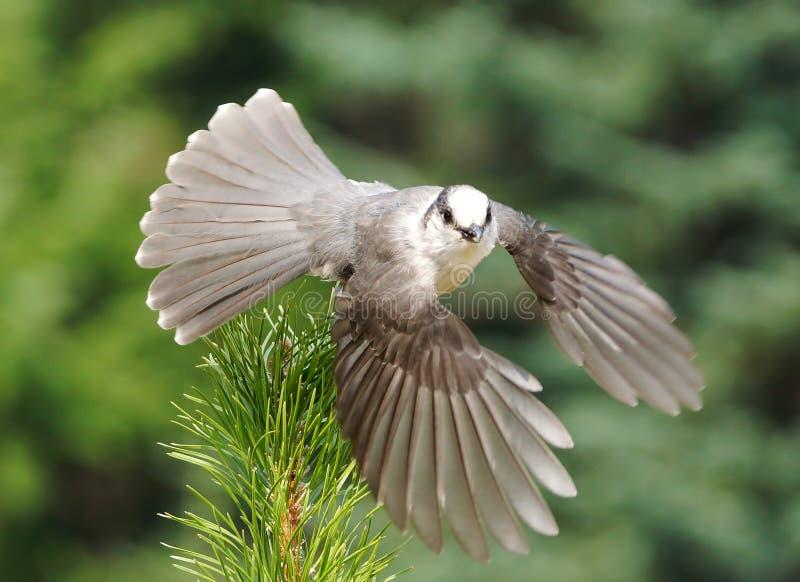 Gray Jay - canadensis del Perisoreus imagen de archivo