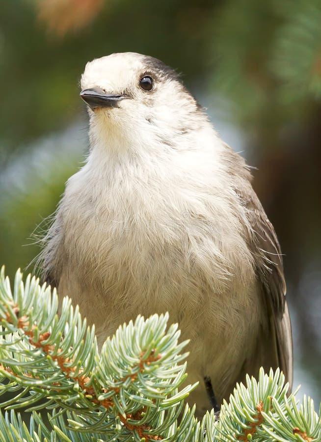 Gray Jay - canadensis del Perisoreus imágenes de archivo libres de regalías