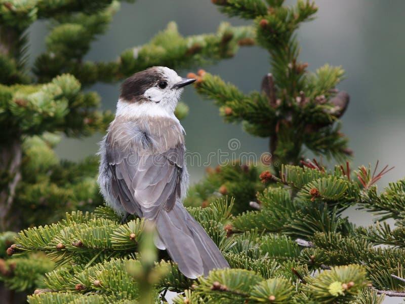 Gray Jay en un árbol fotos de archivo libres de regalías
