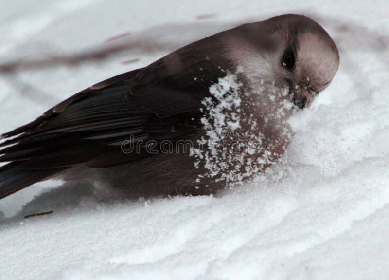 Gray Jay que juega en nieve de la primavera fotografía de archivo libre de regalías