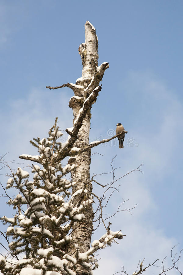 Gray Jay In Tree Stock Images