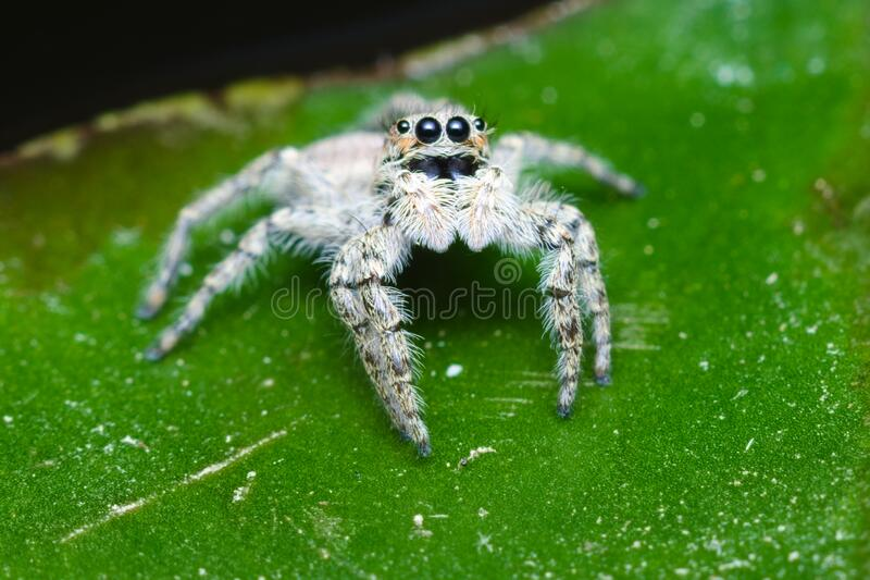 Gray jumping spider found in an Italian house during summer. Jumping spiders have some of the best vision among arthropods and use it in courtship, hunting, and royalty free stock images