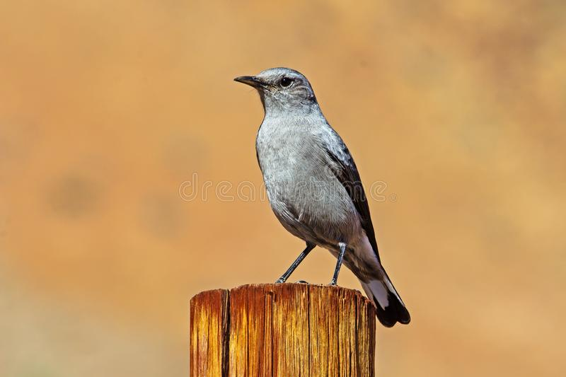 Gray Karoo Chat on Post. Gray Karoo Chat bird sitting on pole in Richtersveld National Park, South Africa stock image