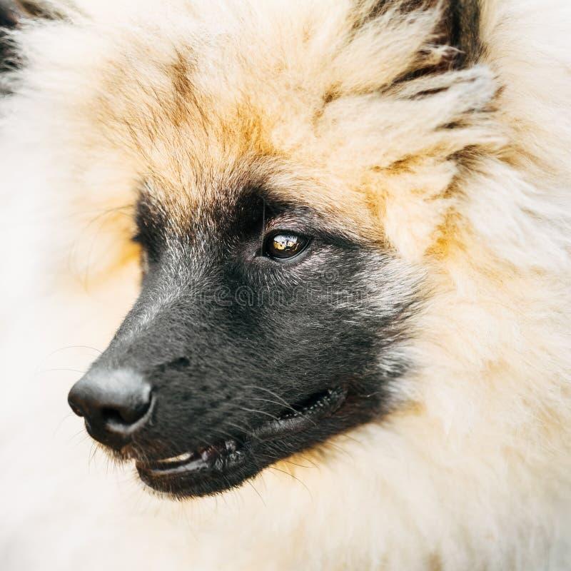 Gray Keeshound, Keeshond, cane di Keeshonden (Spitz tedesco) Wolfspit immagini stock libere da diritti