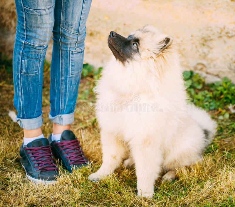 Gray Keeshound, Keeshond, cane di Keeshonden (Spitz tedesco) Wolfspit immagine stock libera da diritti