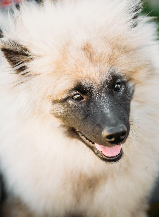 Gray Keeshound, Keeshond, cane di Keeshonden (Spitz tedesco) Wolfspit fotografia stock libera da diritti