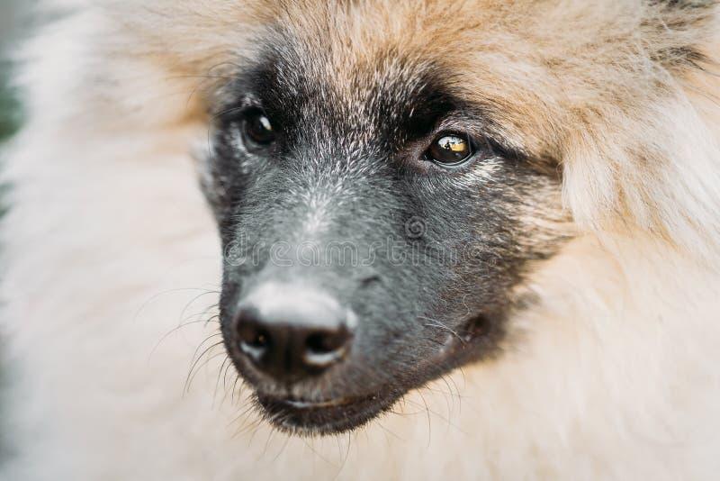 Gray Keeshound, Keeshond, cane di Keeshonden - Spitz tedesco Wolfspit immagini stock libere da diritti