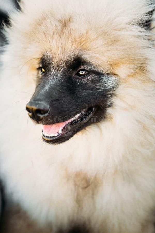 Gray Keeshound, Keeshond, tedesco del cane di Keeshonden fotografie stock libere da diritti