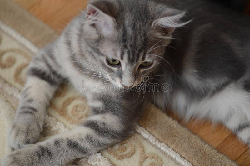 Gray kitten. A cute gray kitten (cat stock photography
