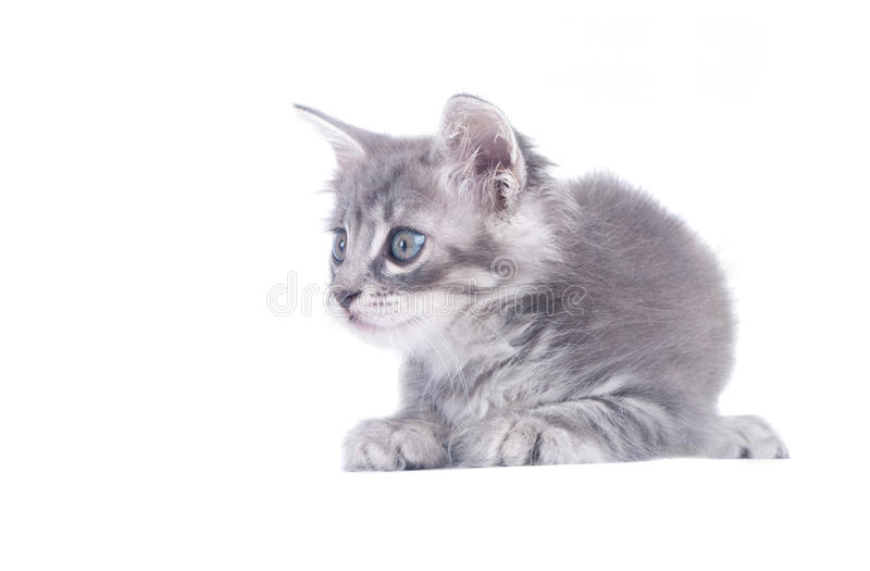 Gray kitten. On a white background stock photo