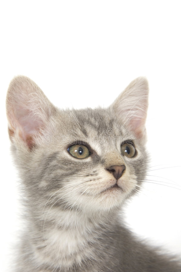 Gray kitten 3. A gray kitten sitting on a white background stock photo
