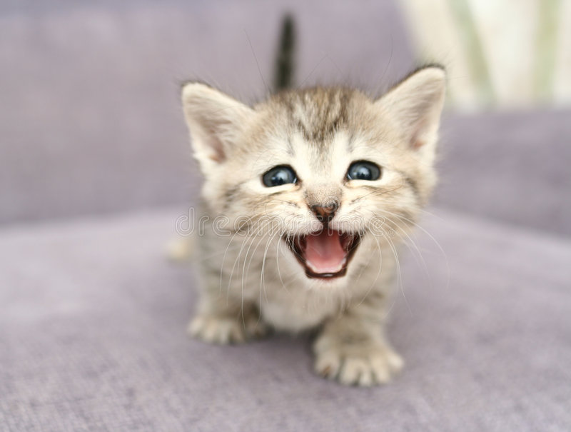 Gray kitten. Sight of a small gray kitten with the open mouth stock images