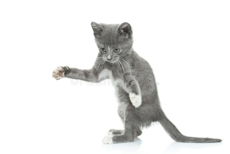 Gray kitten. Isolated on white background stock image