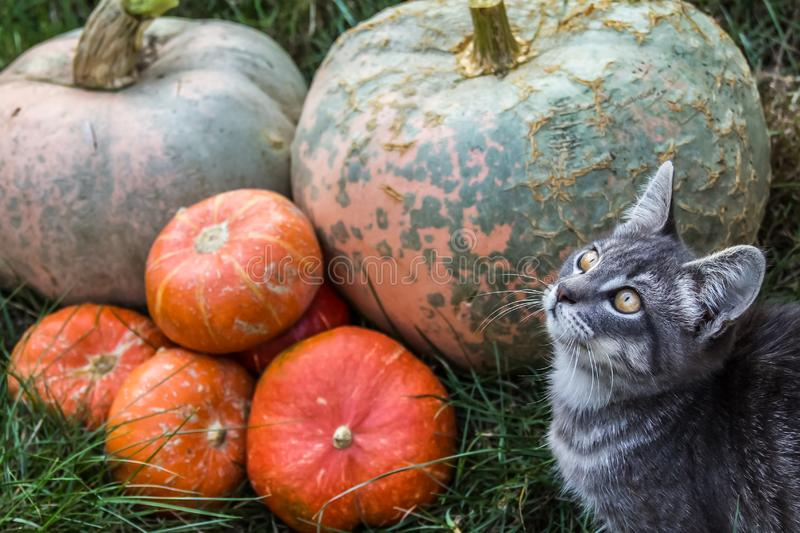 Gray kitten on background of orange pumpkins. Cat and pumpkin. royalty free stock photography