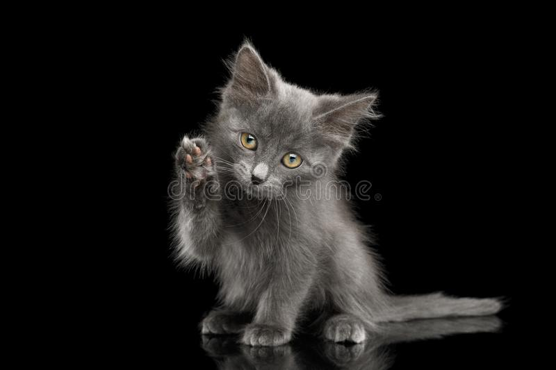 Gray Kitten on Black Background. Cute Gray Kitten, Sitting and raising paw like washing, on Isolated Black Background royalty free stock photo