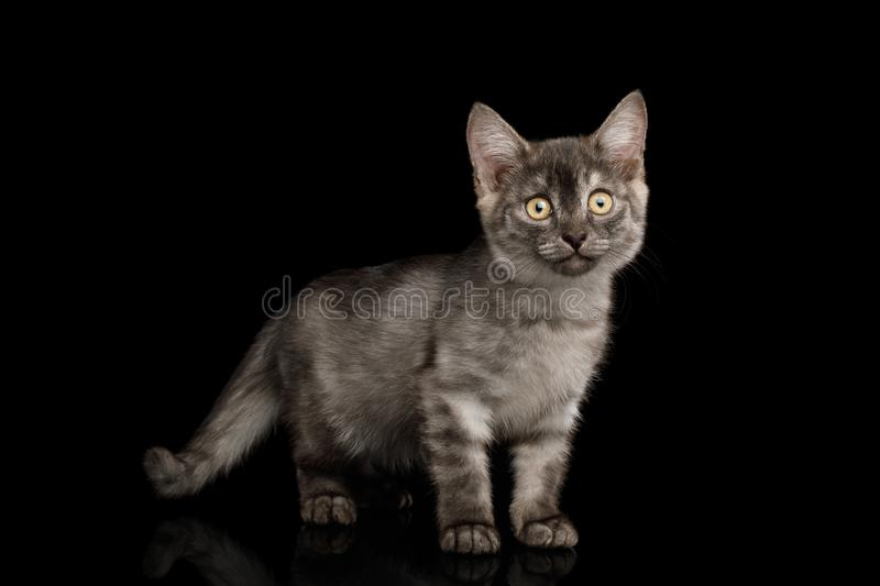Gray Kitten on Black Background. Cute Gray Kitten Standing and looks curious in camera on Isolated Black Background stock photo