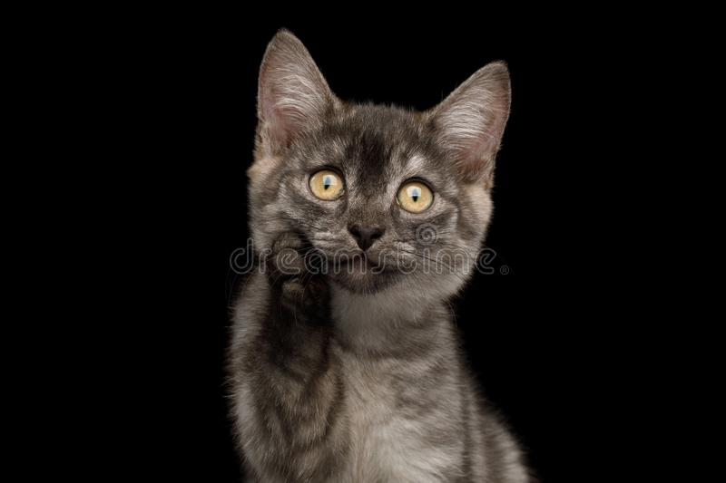 Gray Kitten on Black Background. Funny Portrait of Thinking Gray Kitten with paw show amazement on Isolated Black Background stock photography