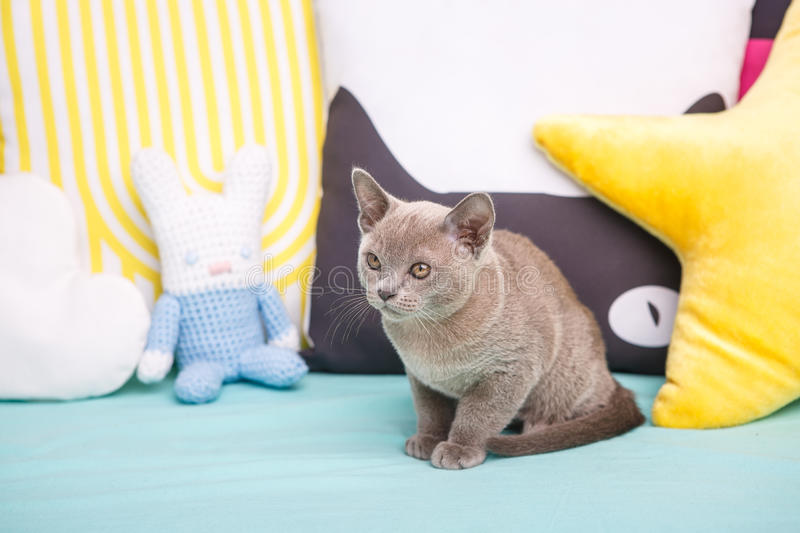 gray kitten on a blue couch looking to the side. royalty free stock images