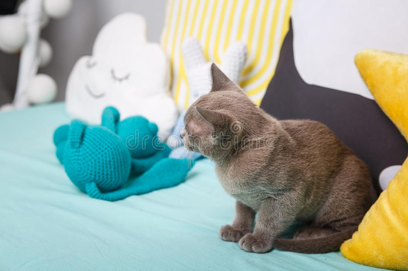 gray kitten on a blue couch looking to the side. stock image
