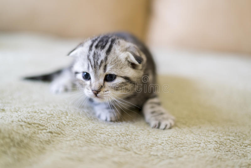 Gray kitten of breed Scottish Fold sitting on couch royalty free stock images