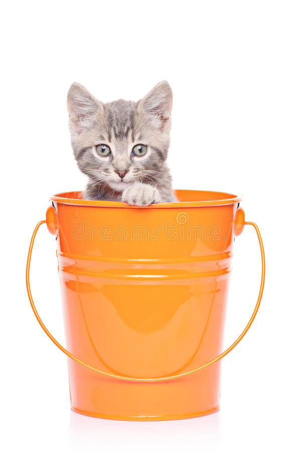 Gray kitten in a bucket. Isolated on white background stock photos
