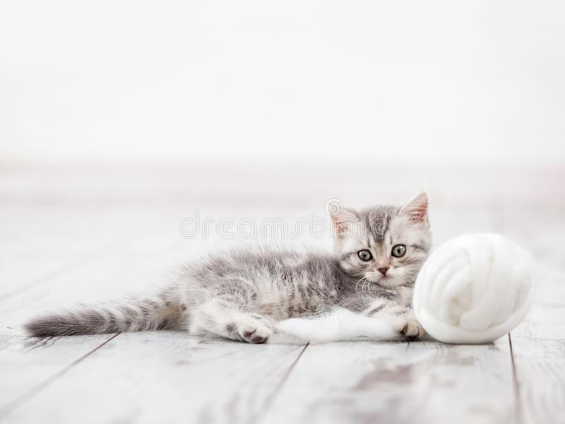 Gray kitten. Curious gray kitten. Little cat at home. Small pet royalty free stock images