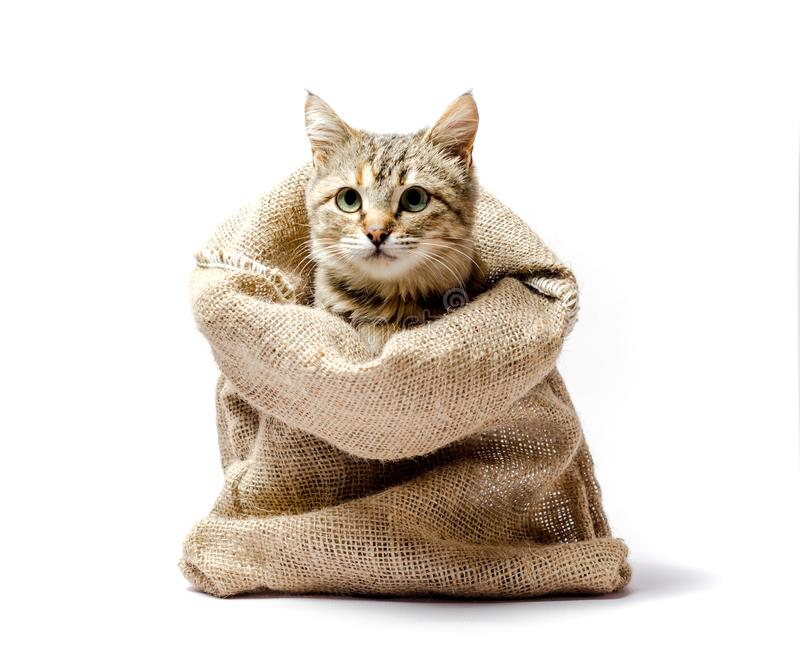 Gray kitten with green eyes in a bag on a light background. Gray kitten with green eyes in a bag stock images